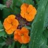 Erysimum 'Apricot Twist'