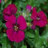 Aubrieta 'Kitte Rose-Red'