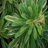 Euphorbia Burrow Silver