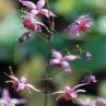 Epimedium Pink Elf