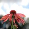echinacea-sundown-058_0
