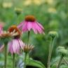 Echinacea 'Magnus'