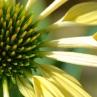 Echinacea 'Harvest Moon'