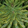 Euphorbia 'Ascott Rainbow'