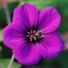 geranium-ann-folkard