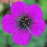 geranium-sandrine