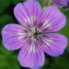 geranium-sylvias-surprise
