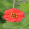 Geum 'Red Wings'