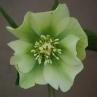 Hellebore orientalis hybrid
