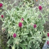 Knautia 'Thunder and Lightening'