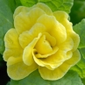 nursery-2011-primula-bellerina-butter-yellow_0