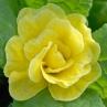 nursery-2011-primula-bellerina-butter-yellow_0