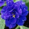 nursery-2011-primula-bellerina-cobalt-blue_0