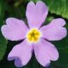nursery-2011-primula-vulgaris-siebthorpii_0