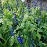 Salvia 'Black n Blue'