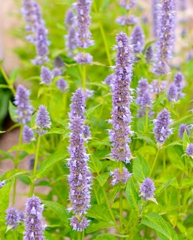 Purple giant hyssop (Agastache rugosa 'Blue Fortune')