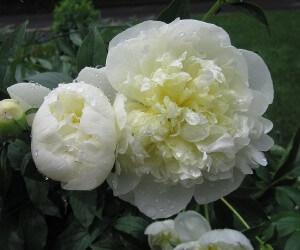 Duchess-de-Nemours-peony