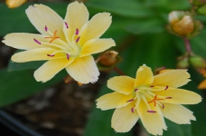 Lewisia Little Mangoweb