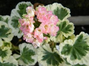 Pelargonium Westdale Appleblossom