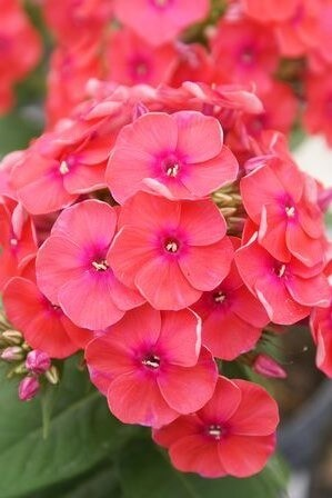 Phlox Coral Flame - for web