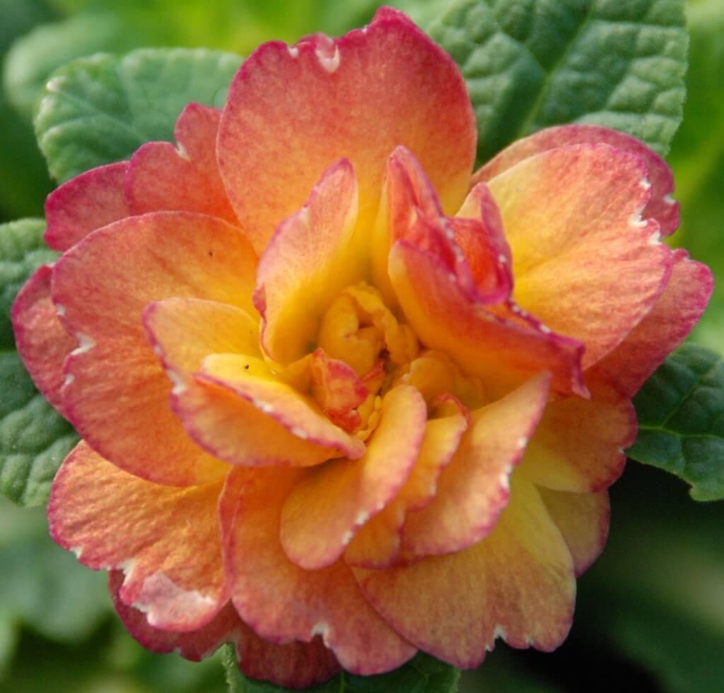 Primula Bellerina Nectarine