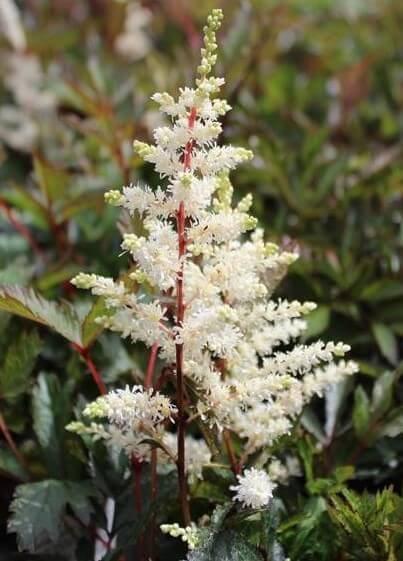 astilbe_cappuchino_resized