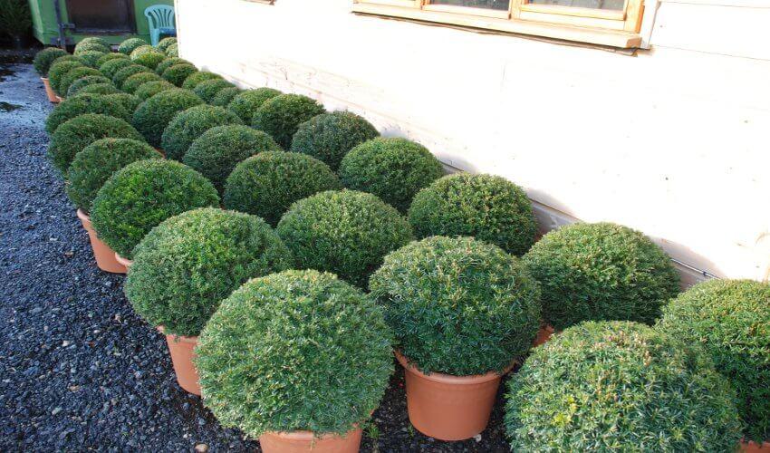 Yew Balls1