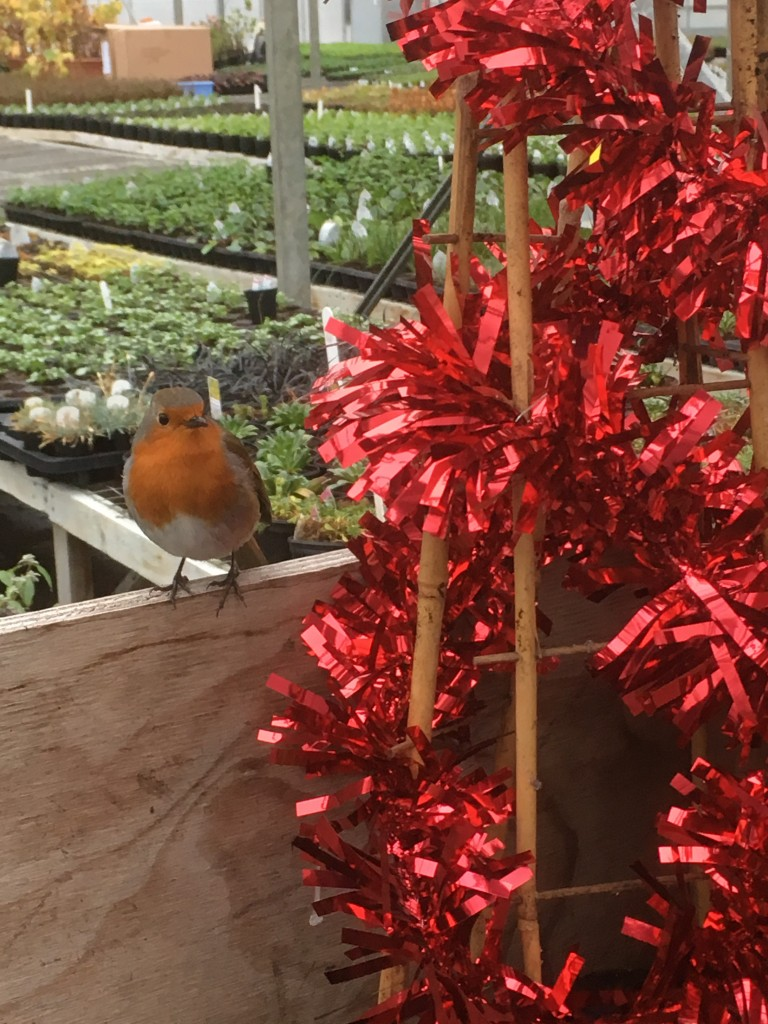 dave-the-nursery-robin-dec-16
