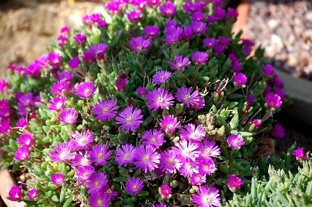 Alpine Drosanthemum hispidum bright magenta flowers