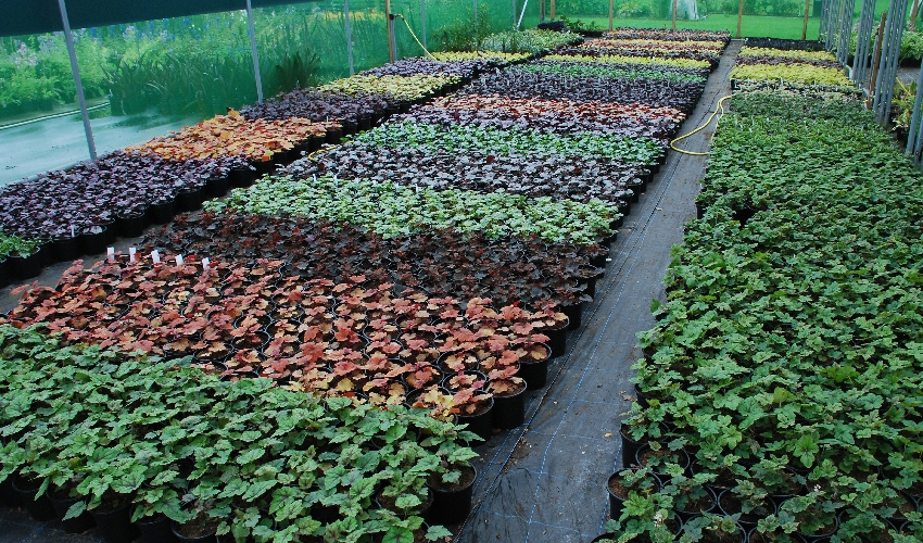A row of different coloured Heucheras in situ at the nursery
