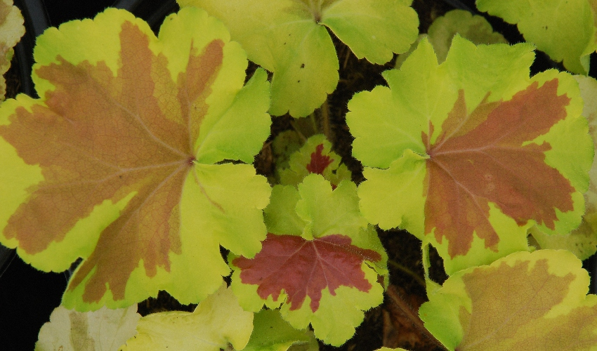 Green and brown slodged leaves of Heuchera kadastra