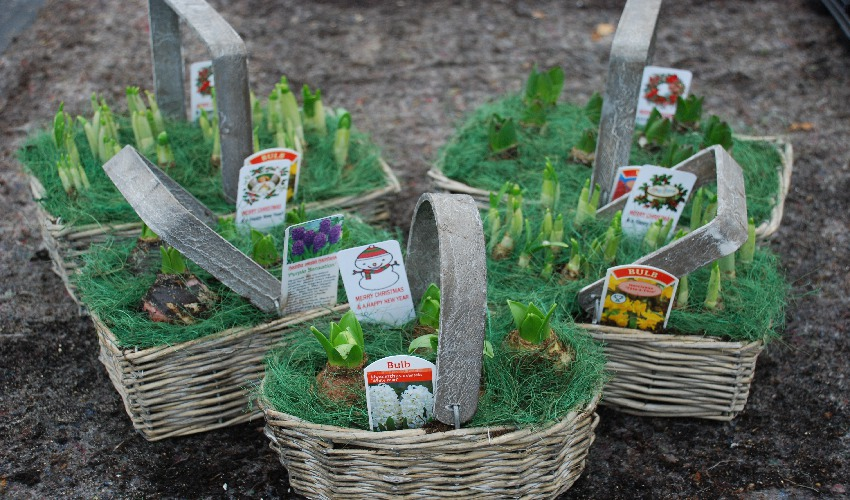 Christmas wicker planters filled with bulbs and Christmas gift tags