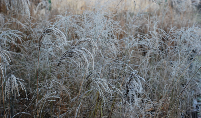 Hoar Frost on the grasses at How Green Nursery