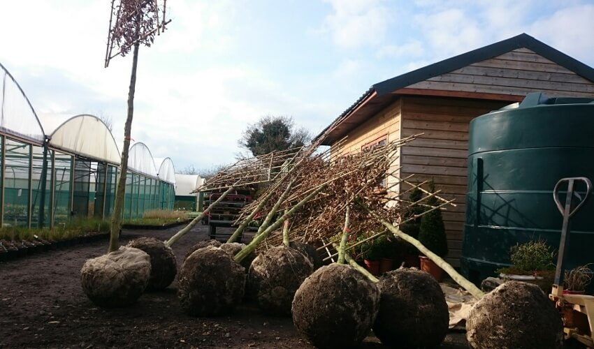 Pleached1