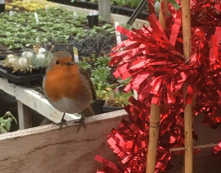 Dave the How Green nursery robin perching on a workbench in the greenhouse beside red tinsel