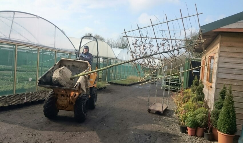 pleached tree being moved around nrsery on a digger