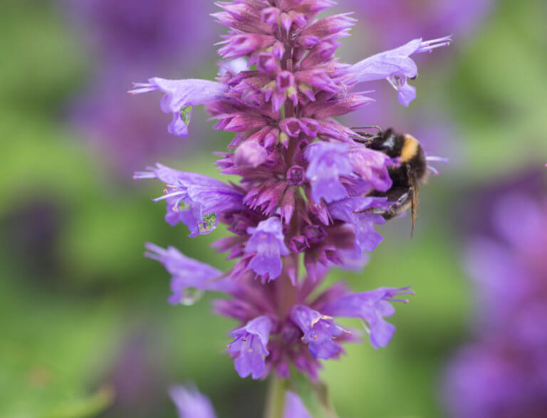 A bumble bee on a purple agastache
