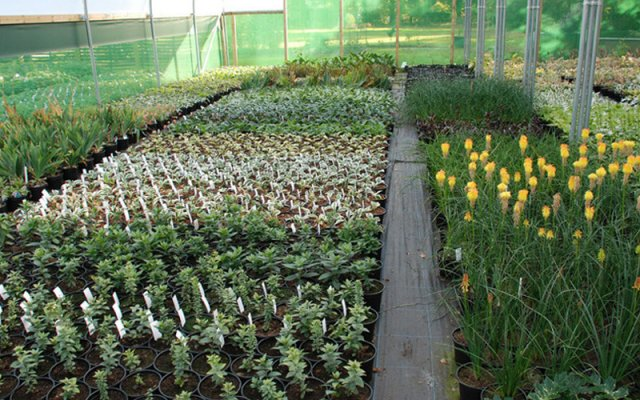 young plants in one of the nursery polytunnels
