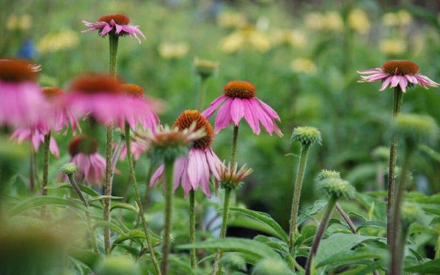 pink echinaceas